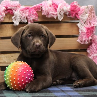 Lexie - pupper Labrador Retriever for sale in Goshen, Indiana