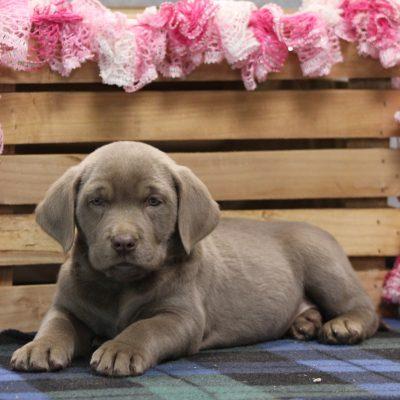 Mia - Labrador Retriever pup for sale near Goshen, Indiana