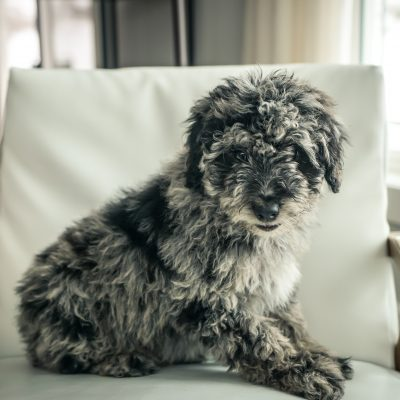 SOLD Baker! - Male Mini Portidoodle puppy for sale in Sugarcreek, Ohio