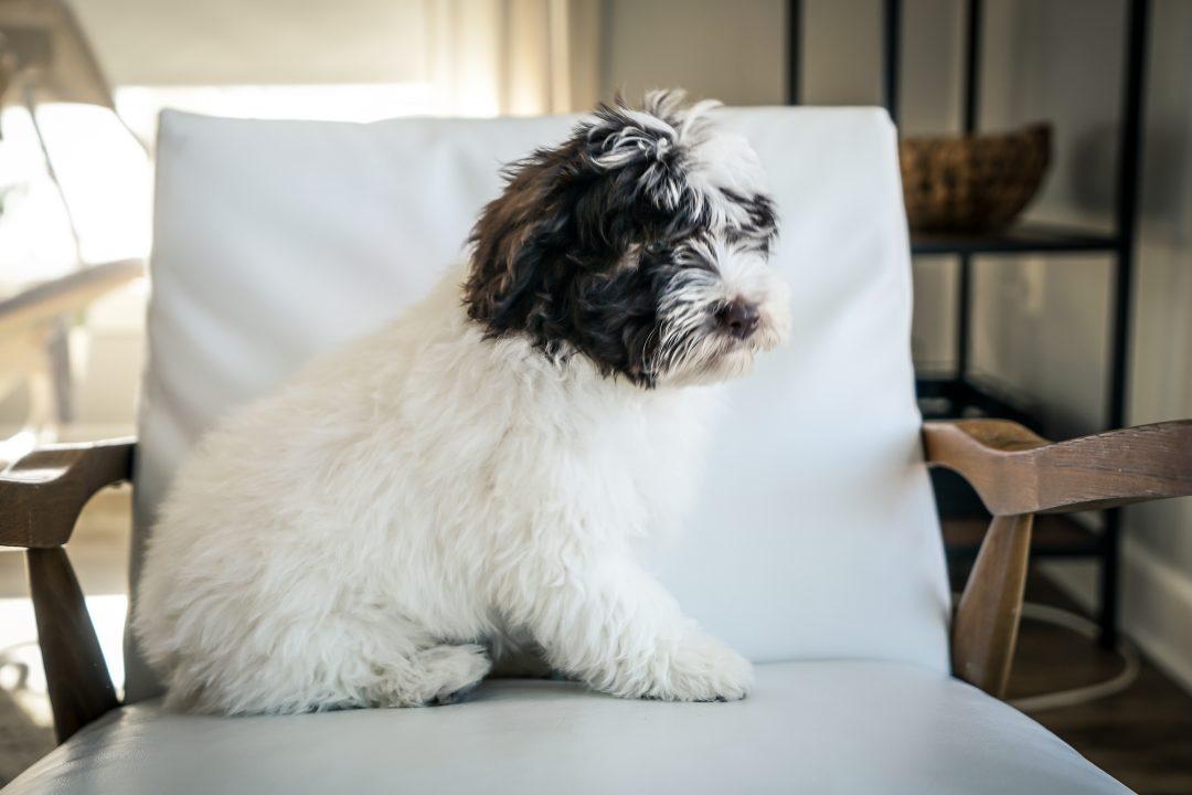 SOLD Chloe!! - Female Mini Portidoodle puppy for sale near Sugarcreek, Ohio