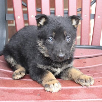Dorcas - female AKC German Shepherd pup for sale in New Haven, Indiana