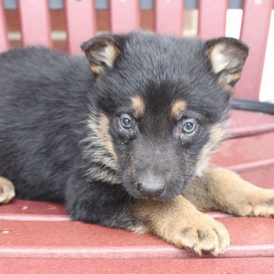 Deborah - AKC German Shepherd puppy for sale at New Haven, Indiana