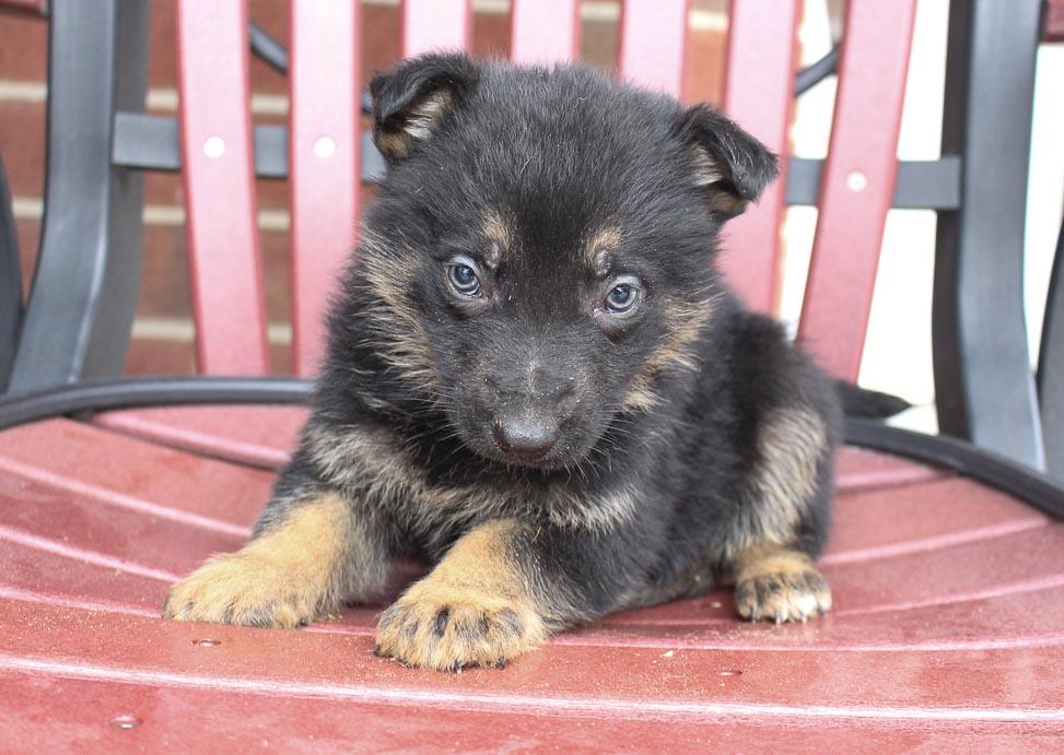 Benji - pupper AKC German Shepherd for sale near New Haven, Indiana