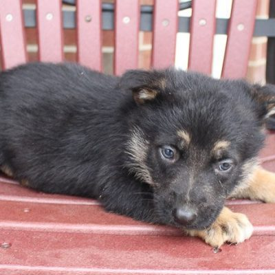 Banno - AKC German Shepherd pup for sale in New Haven, Indiana