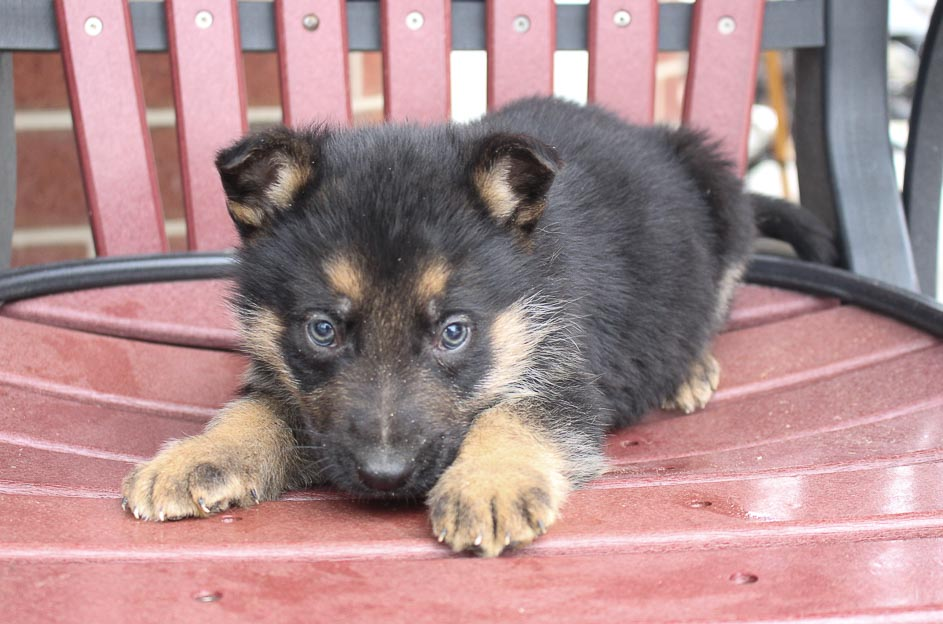 Barnie - AKC German Shepherd doggie for sale at New Haven, Indiana