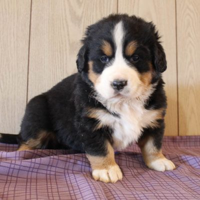 Jayde - AKC Bernese Mountain pupper for sale in Grabill, Indiana
