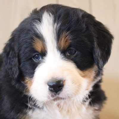Joy - pup AKC Bernese Mountain for sale at Grabill, Indiana