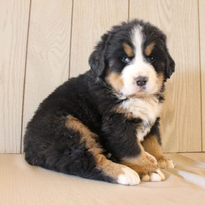 Jericho - AKC Bernese Mountain pup for sale at Grabill, Indiana