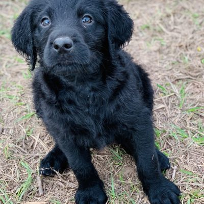 Hopper - Double Doodle puppy for sale at Waller, Texas