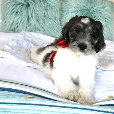 Aussiedoodle Puppy (Pacifica, California)