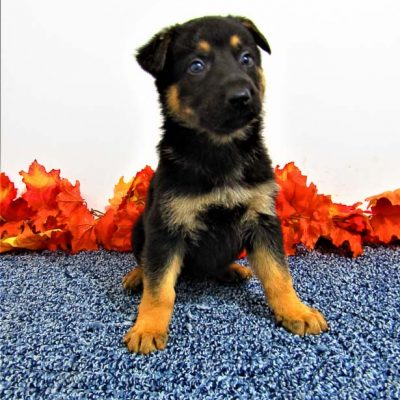 Buster - male AKC German Shepherd pup for sale in New Haven, Indiana