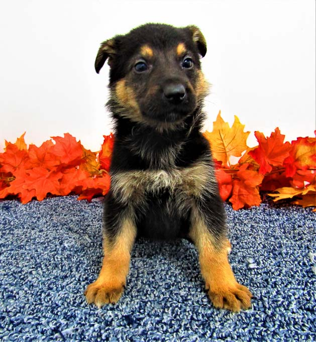 Chief - AKC German Shepherd pupper for sale at New Haven, Indiana