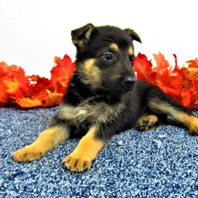 Suzie - female AKC German Shepherd pupper for sale near New Haven, Indiana