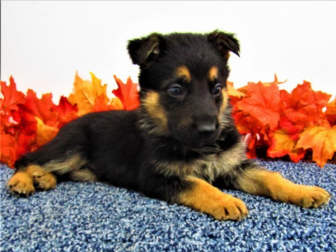 King - AKC German Shepherd doggie for sale in New Haven, Indiana