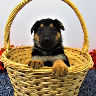 Sadie - AKC German Shepherd puppie for sale at New Haven, Indiana