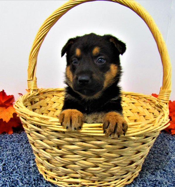 Sammy - AKC German Shepherd puppy for sale near New Haven, Indiana