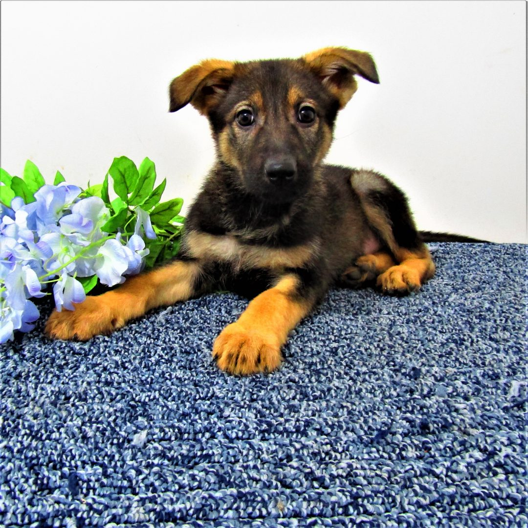 Queen - puppy AKC German Shepherd for sale near New Haven, Indiana
