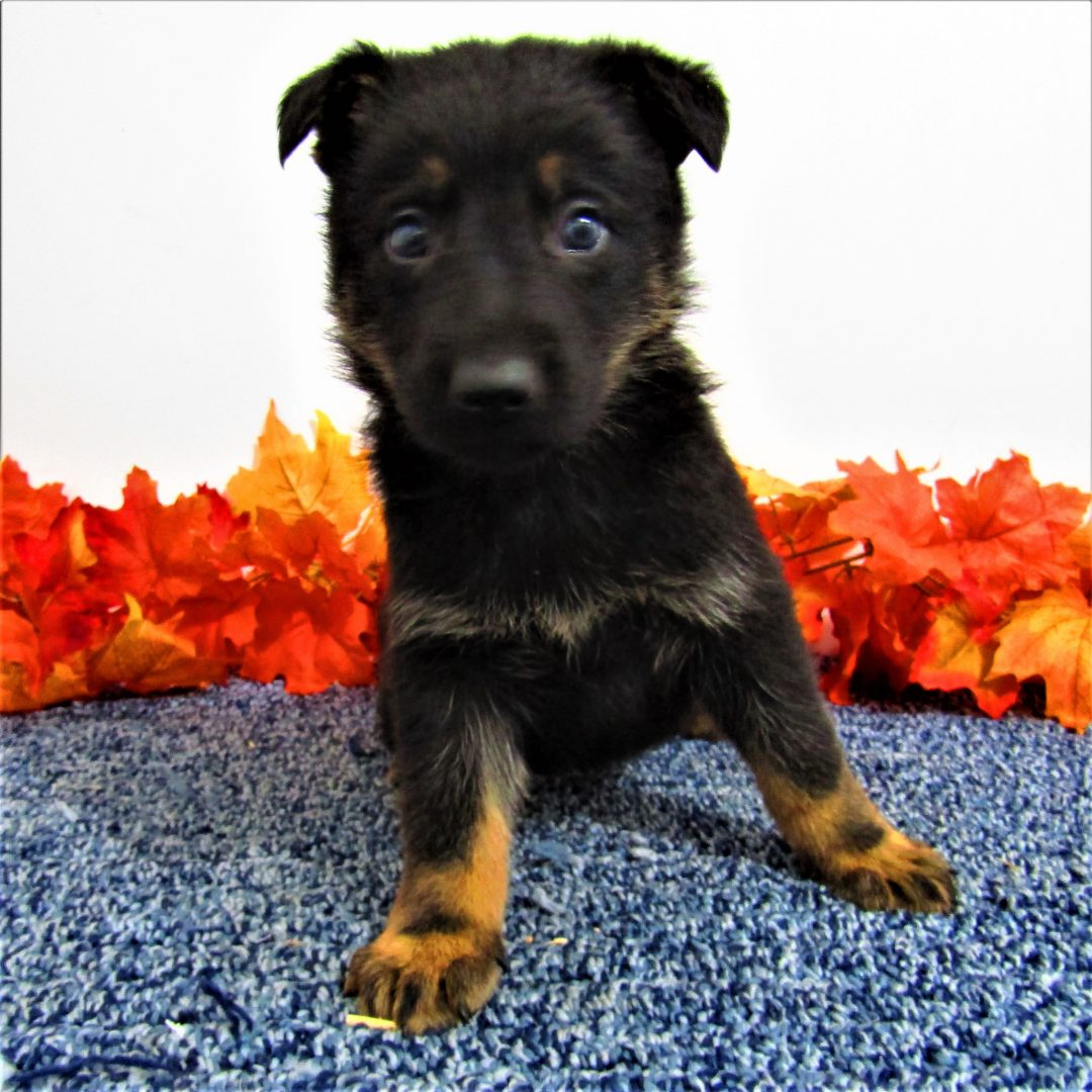 Rascal - male AKC German Shepherd pup for sale in New Haven, Indiana