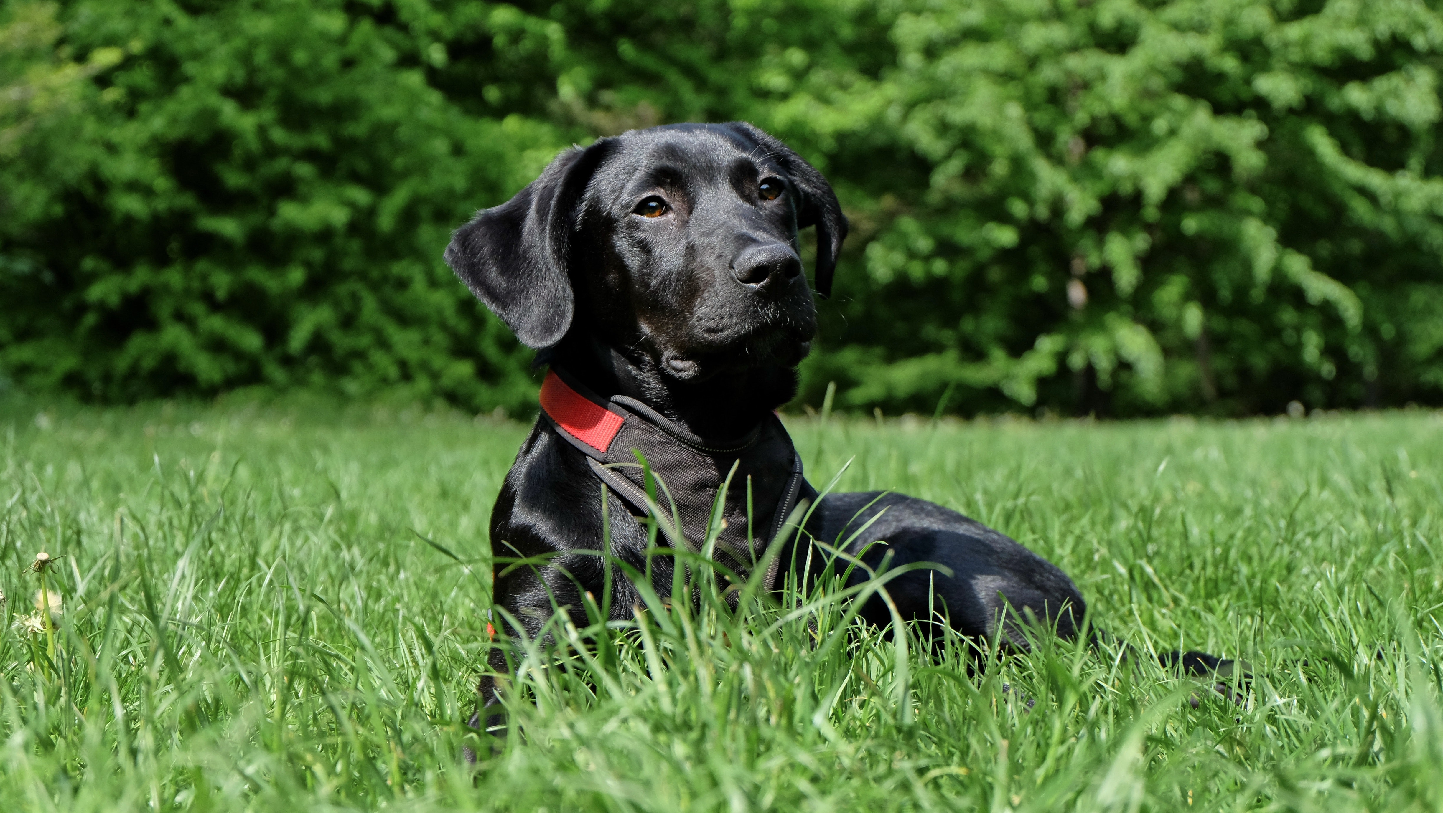 Black Labrador Retriever lying outdoors in the grass with trees in the background.