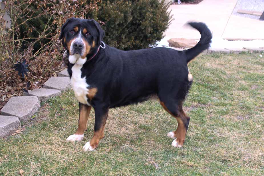 Oshea - AKC Greater Swiss Mountain doggie for sale at Fort Wayne, Indiana