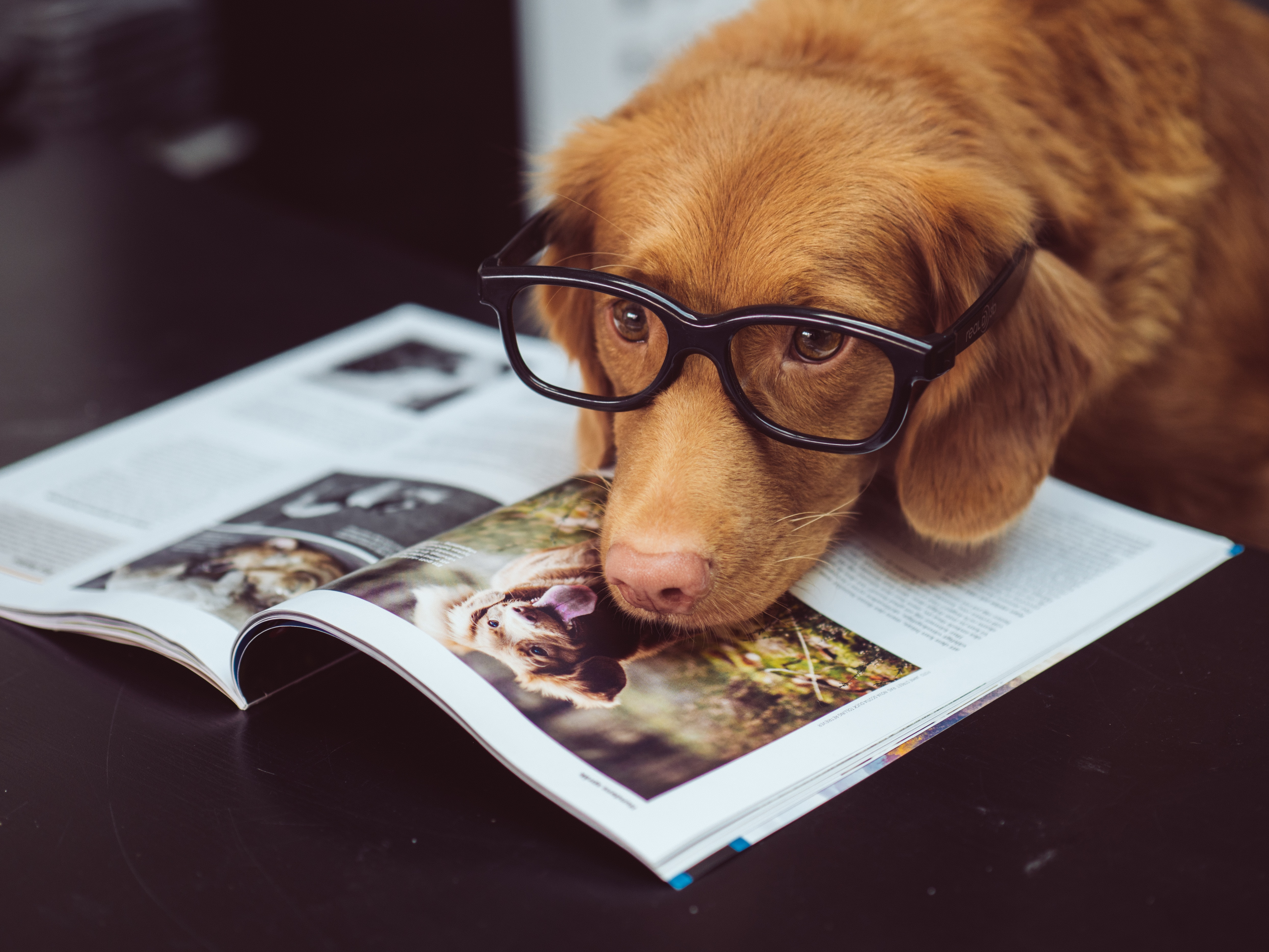 Dog with glasses looking at a dog magazine.