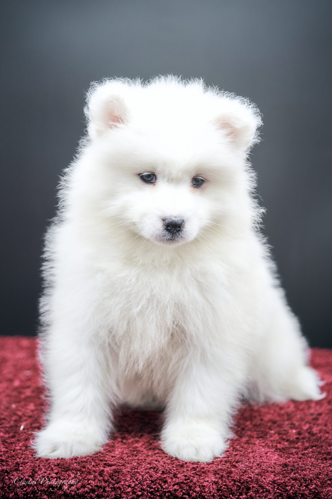 Bev - AKC Samoyed female puppie for sale near Keene, Texas