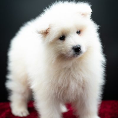 Bud - pupper AKC Samoyed for sale in Keene, Texas