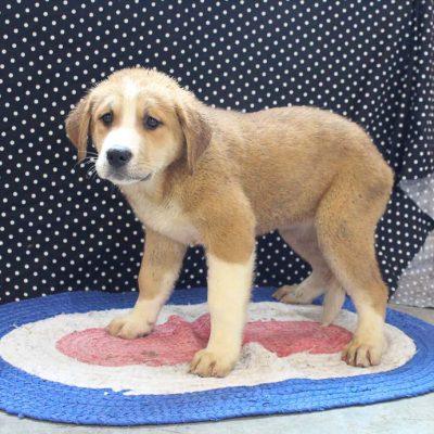 Princess - female ICA Designer Breed Large pup for sale near Spencerville, Indiana