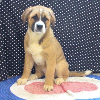 Whisper - ICA Designer Breed Large doggie for sale at Spencerville, Indiana
