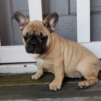Lily - French Bulldog doggie for sale near Stamford, Connecticut