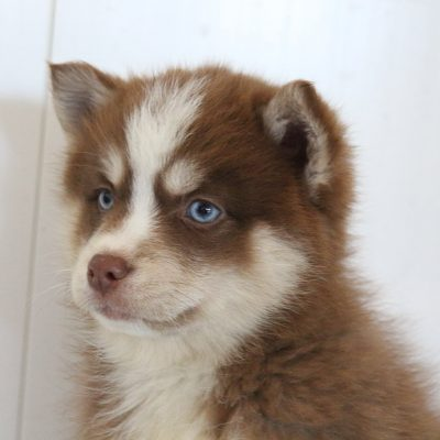 Dusty - male Pomsky pupper for sale in Millersburg, Indiana