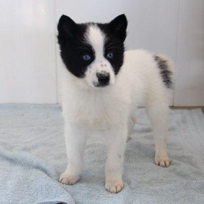 Donna - Pomsky doggie for sale at Millersburg, Indiana