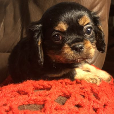 Calvin - male AKC Cavalier King Charles Spaniel puppy for sale in Bolivar, Missouri