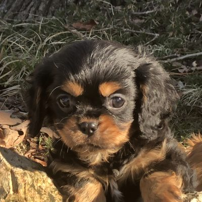 Carter - male AKC Cavalier King Charles Spaniel puppy for sale in Bolivar, Missouri