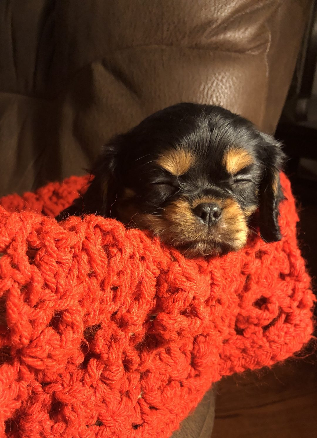 Carter - male AKC Cavalier King Charles Spaniel puppy for sale in Bolivar, Missouri (Copy)