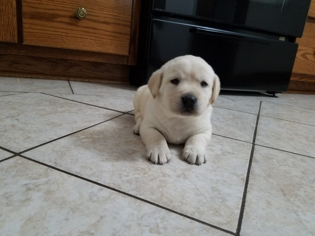 Davis - male AKC Labrador Retriever pupper for sale at Woodburn, Indiana