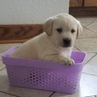 Dolle - AKC Labrador Retriever doggie for sale at Woodburn, Indiana
