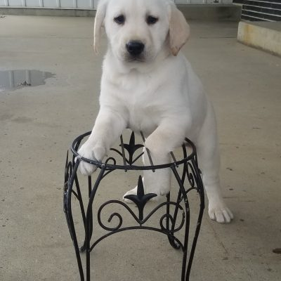Rosie - AKC Labrador Retriever female puppy for sale near Woodburn, Indiana