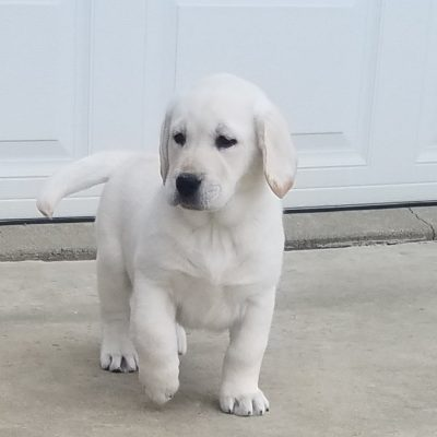 Robbie - male AKC Labrador Retriever pupper for sale in Woodburn, Indiana