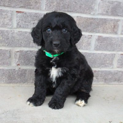 Sally - female Labradoodle pupper for sale in Woodburn, Indiana