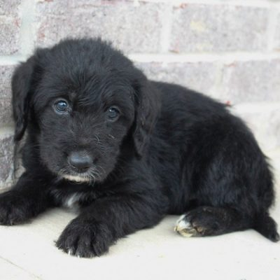 Sandy - Labradoodle doggie for sale at Woodburn, Indiana