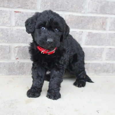 Mindy - Labradoodle doggie for sale at Woodburn, Indiana