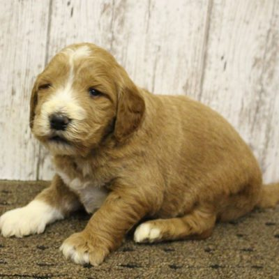 Barny - Goldendoodle pup for sale at Woodburn, Indiana