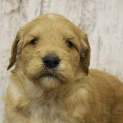 Bell - pupper Goldendoodle for sale near Woodburn, Indiana
