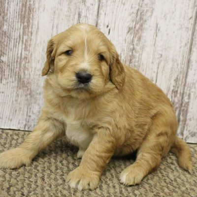 Bonnie - male puppy Goldendoodle for sale in Woodburn, Indiana