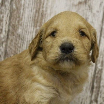 Lucky - Goldendoodle doggie for sale at Woodburn, Indiana