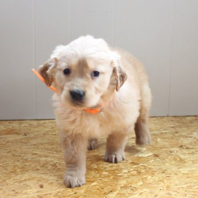 Tracy - AKC Golden Retriever female pup for sale near Grabill, Indiana