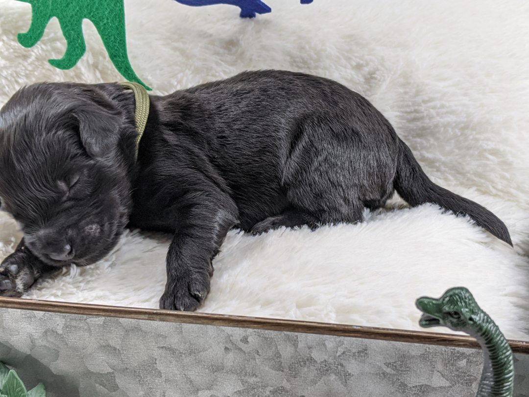 Crawley - Whoodle puppy for sale in Peoria Heights, Illinois