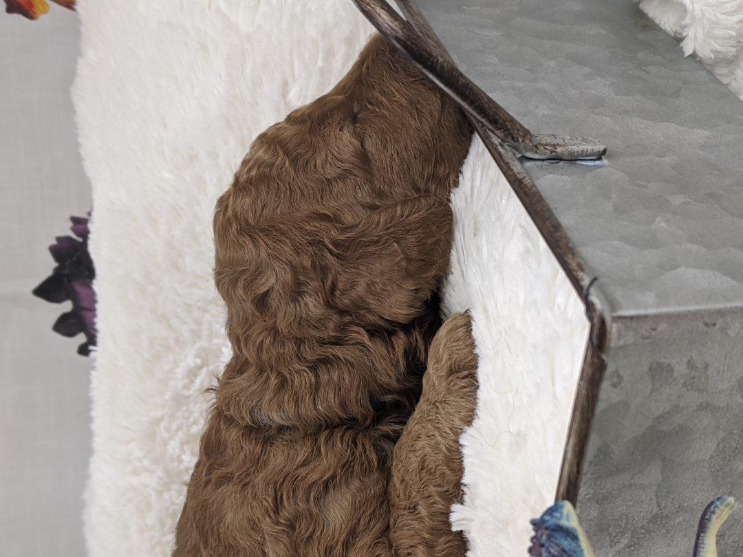 Wicket - AKC Moyen Poodle RESERVED