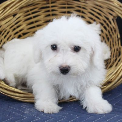 Bentley - male AKC Bichon Frise pup for sale near Edon, Ohio